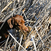 "Bailey works her way through the reeds after retrieving a mallard hen taken during a recent duck hunt in the ""Golden Triangle"" surrounding Jackson Lake State Park.<br /> Scott Willoughby, The Denver Post"