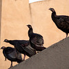 Wild turkeys perch on a rooftop along Cornell Avenue, Sunday, Feb. 24, 2013 in Albany, Calif. Neighbors are requesting that the city do something about the birds, a flock of which have taken up residence in an area tree. (D. Ross Cameron/Staff)
