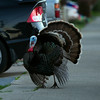 In full display mode, a male wild turkey meanders along Cornell Avenue, Sunday, Feb. 24, 2013 in Albany, Calif. Neighbors are requesting that the city do something about the birds, a flock of which have taken up residence in an area tree. (D. Ross Cameron/Staff)