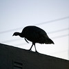 A wild turkey perches on the rooftop of a home on Cornell Avenue, Sunday, Feb. 24, 2013 in Albany, Calif. Neighbors are requesting that the city do something about the birds, a flock of which have taken up residence in an area tree. (D. Ross Cameron/Staff)