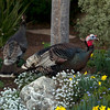 Wild turkeys forage for food in a garden along Cornell Avenue, Sunday, Feb. 24, 2013 in Albany, Calif. Neighbors are requesting that the city do something about the birds, a flock of which have taken up residence in an area tree. (D. Ross Cameron/Staff)