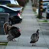 Wild turkey wander along Cornell Avenue, at dusk on Sunday, Feb. 24, 2013 in Albany, Calif. Neighbors are requesting that the city do something about the birds, a flock of which have taken up residence in an area tree. (D. Ross Cameron/Staff)