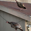 Wild turkeys perch on cars and rooves along Cornell Avenue, Sunday, Feb. 24, 2013 in Albany, Calif. Neighbors are requesting that the city do something about the birds, a flock of which have taken up residence in an area tree. (D. Ross Cameron/Staff)