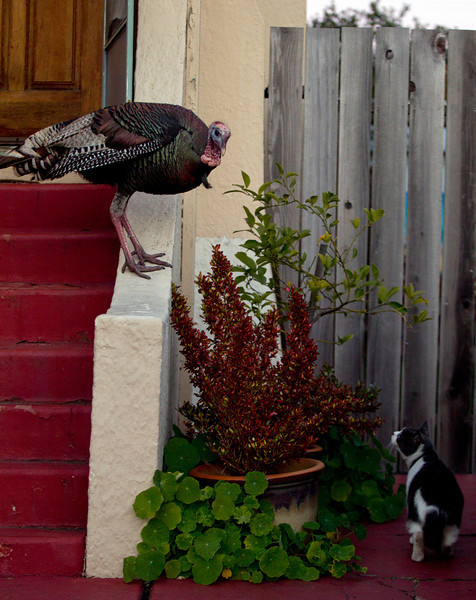 A wild turkey is not intimidated by a neighborhood housecat, as it meanders along Cornell Avenue, Sunday, Feb. 24, 2013 in Albany, Calif. Neighbors are requesting that the city do something about the birds, a flock of which have taken up residence in an area tree. (D. Ross Cameron/Staff)