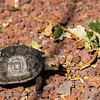 Baby Giant Land Tortoise
