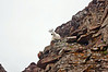 Through a confounding maze of cliffs, ledges and gullies, the mountain goats are always there to guide climbers up and down the mountain. Colorado Elk Range.