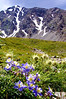 Columbine fight for survival amid thistle below Torreys Peak's east face, Colorado Front Range.