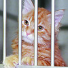 pound kitties 1 in thursday dave milne jan 12 00 marmalade cat Fester stares whistfully through the bars of her cage at the City pound waiting for someone to adopt her.