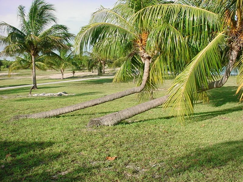 21 Bent over palm trees at Boca Chica Key