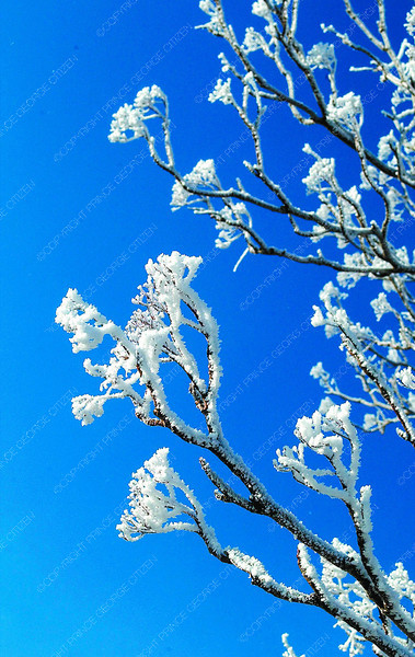 hoar frost and blue sky in tuesday dave milne dec 1 03 Hoar frost sparkles on treee branches against a clear blue sky in minus 15 temperatures Monday
