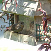 I think this is a female catbird