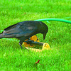 thirsty crow hot weather in saturday dave milne june 25 04 A thirsty crow pecks at a lawn sprinkler looking for a  drink on 15th Avenue Friday when the temperature hit 28 degrees Celcius.
