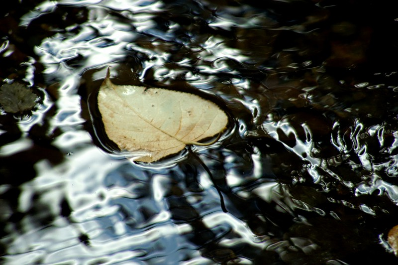 Lone Leaf in the Water