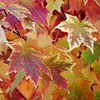 Multi Colored Maple Leaves