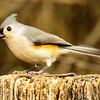 Titmouse profile