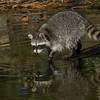Best Nature-Best of Show-Raccoon-Mary Jacobs-Ind