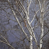 Birch Trees on Slate