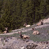 2 Big Horn Sheep-Shirley Gerlock-RPC
