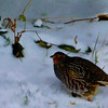 Grey Partridge_Laird Wilson-RPC