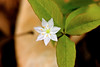 Starflower at Bellamy River Wildlife Sanctuary
