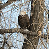 A chilly day after a light snow in late fall at Cherry Creek State Park, CO.  A bald eagle perches in a cottonwood tree.