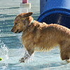 Ruff, owned by John Greaves, reacts to a tennis ball landing in the water in front of him  during the first session of Dog Daze at the Bay on Saturday at The Bay Aquatic Park. September 8, 2012 staff photo/ David R. Jennings