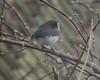 0337 Junco Jan 29 2012 crop