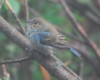 2434 Indigo Bunting May 10 2012 crop