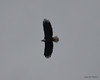 DSC_1202 Bald Eagle Oct 19 2012