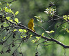2885 Yellow Warbler May 18 2012 crop