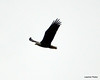DSC_1209 Bald Eagle Oct 19 2012