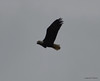 DSC_1211 Bald Eagle Oct 19 2012