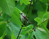 4918 Chestnut-sided Warbler June 28 2012 crop