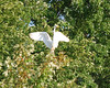 7637 Great Egret Aug 16 2012