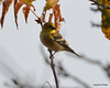 DSC_2324 American Goldfinch Oct 27 2012