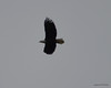 DSC_1207 Bald Eagle Oct 19 2012