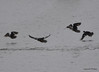 DSC_2469 Hooded Mergansers Nov 1 2012