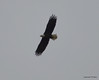 DSC_1206 Bald Eagle Oct 19 2012
