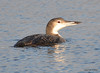 DSC_3434 Common Loon Nov 11 2012