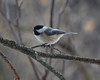 0294 Chickadee Jan 22 2012 crop