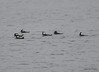 DSC_2479 Hooded Mergansers Nov 1 2012