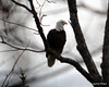 DSC_1187 Bald Eagle Oct 19 2012