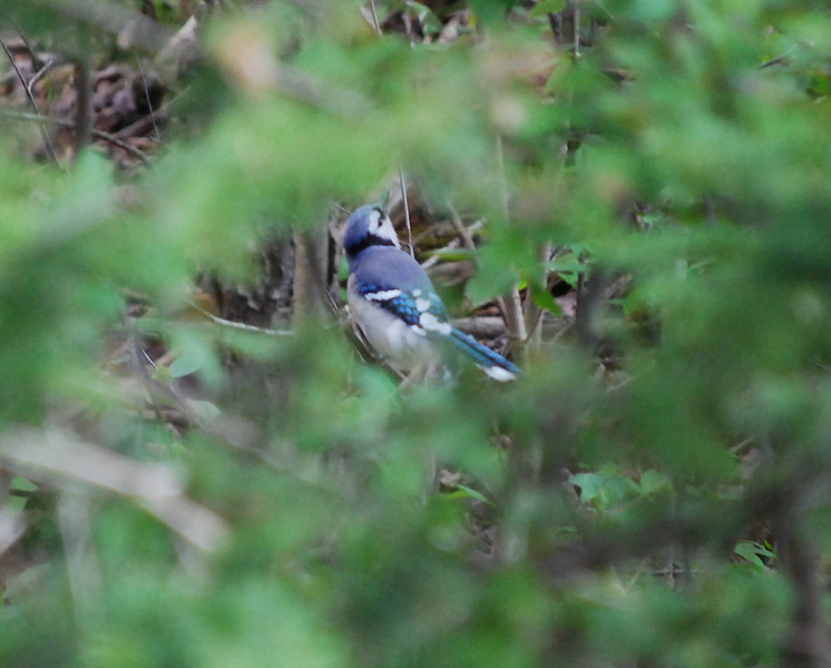 2599 Blue Jay May 11 2012 crop