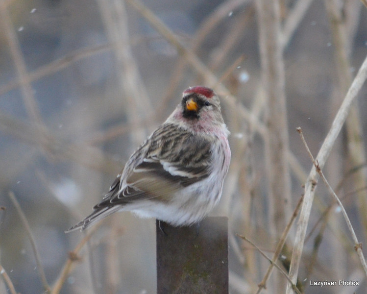 DSC_4784 Common Redpoll Nov 29 2012