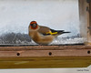 DSC_3923 European Goldfinch Nov 13 2012