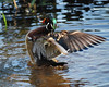 C_1967 Wood Duck Sept 13 2012