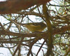 DSC_0890 Yellow-bellied Flycatcher Oct 11 2012