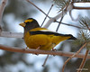 DSC_5022 Evening Grosbeak Dec 12 2012