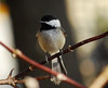 1649 Chickadee Apr 28 2012 crop