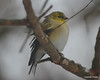 DSC_5592 American Goldfinch Dec 27 2012